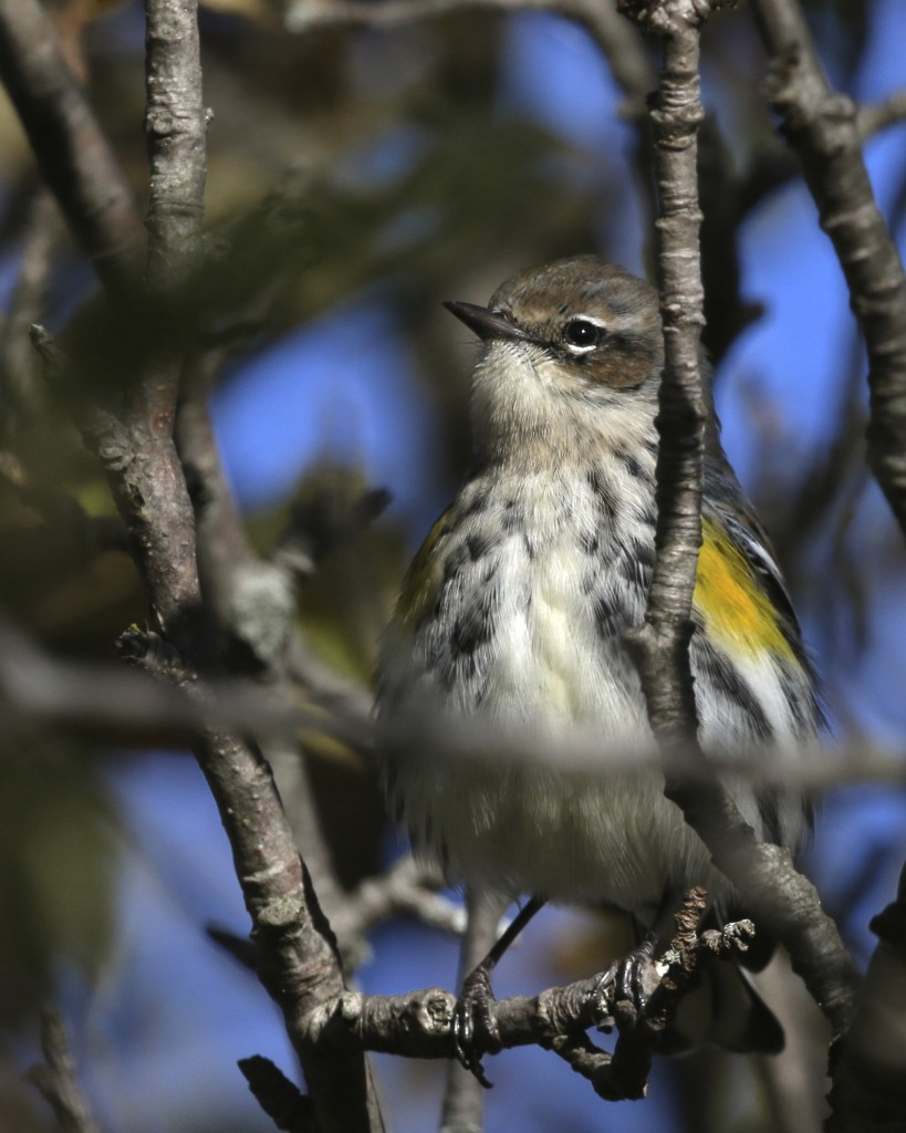 Yellow-rumped Warbler at 6 1/2 Station Road Sanctuary, 10/19/14.