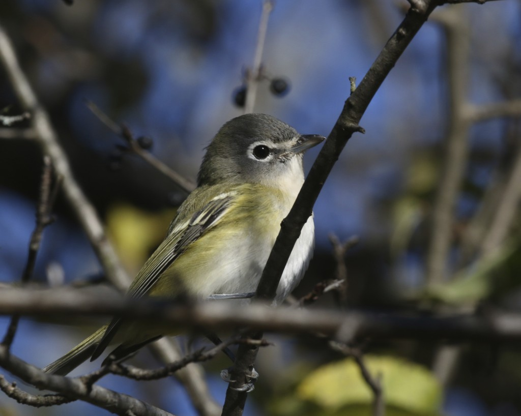 Blue-headed Vireo at 6 1/2 Station Road Sanctuary, 10/19/14.