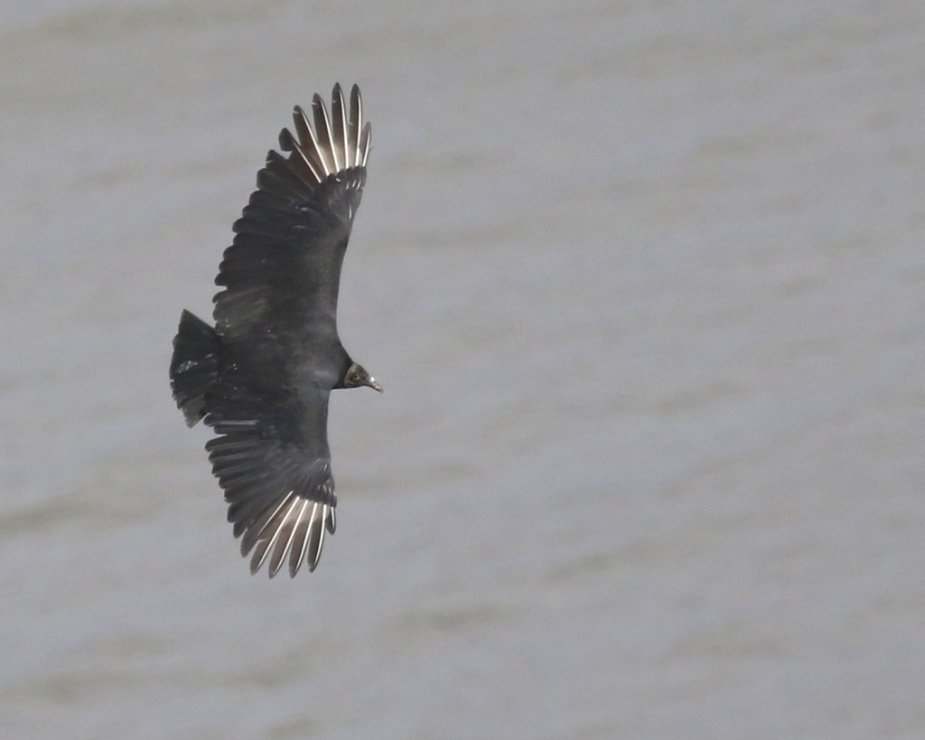 A Black Vulture flies over the Hudson River, well below the lookout. State Line Hawk Watch, 10/26/14.