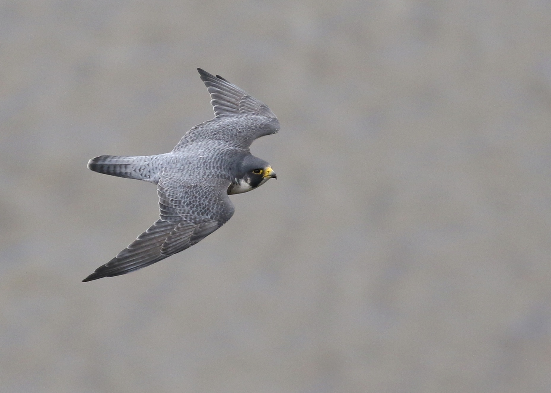 One of the resident Peregrine Falcons at State Line Hawk Watch, 10/26/14.