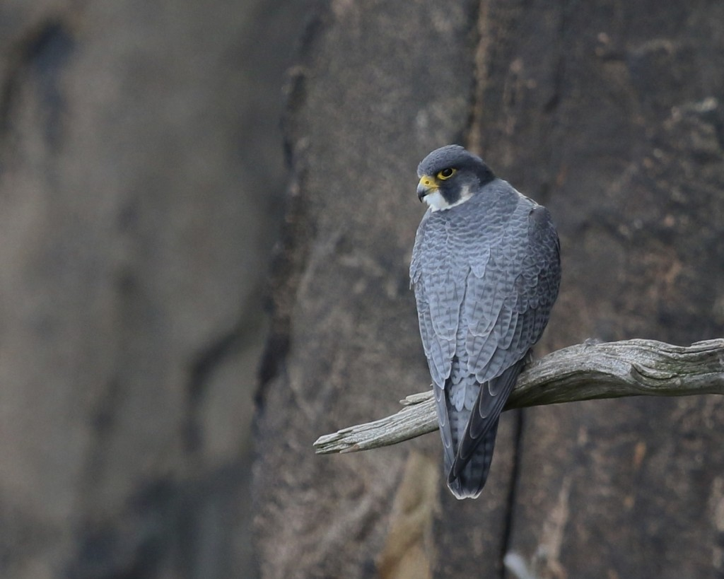 A perched Peregrine Falcon at State Line Hawk Watch, 10/26/14.