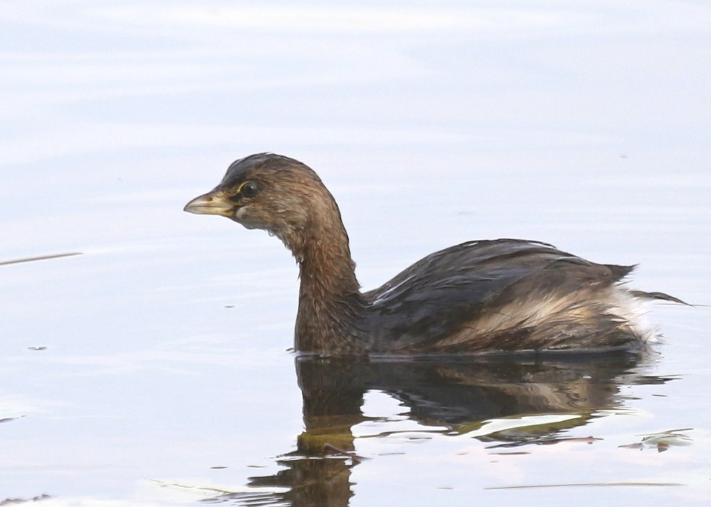 I had one single Pied-billed Grebe at Glenmere Lake last night, 10/28/14.