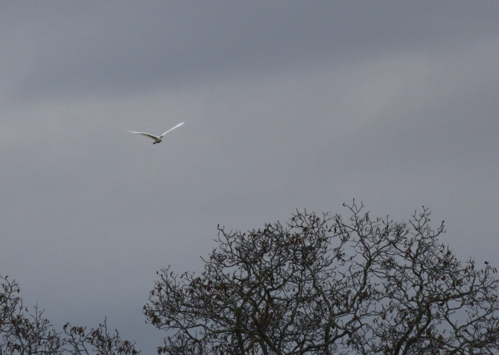 ne more of the Cattle Egret in flight - I actually did not get any perched photos. Warwick, NY 10/31/14.