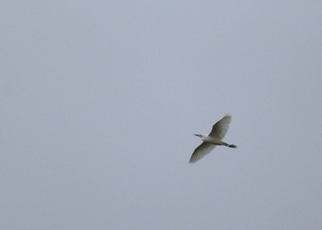 Cattle Egret in flight, Warwick, NY 10/31/14.