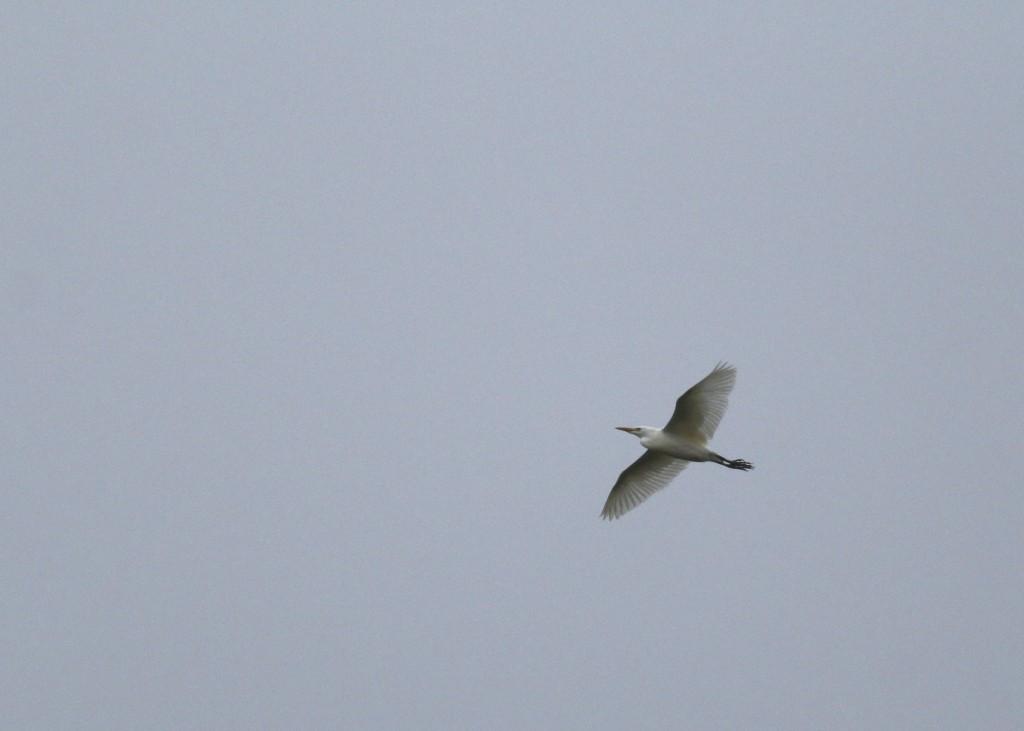 Cattle Egret in flight, Warwick, NY 10/31/14.