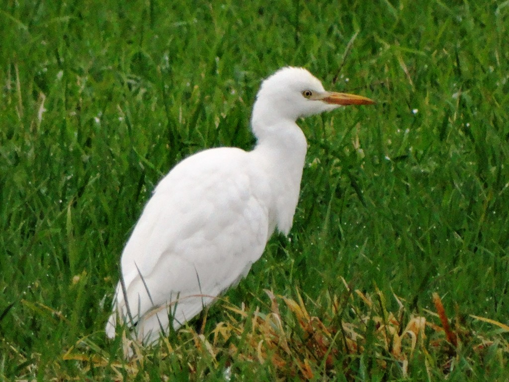 I think this bird has a lot of character. Cattle Egret in Warwick NY, 11/01/14. Photo by Karen C Miller.