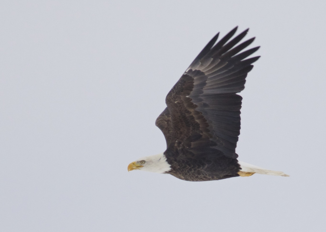 I seem to get an awful lot of over-exposed adult Bald Eagle photos. This one was just barely salvageable. Bald Eagle flying low over the black dirt, Orange County NY, 11/30/14.