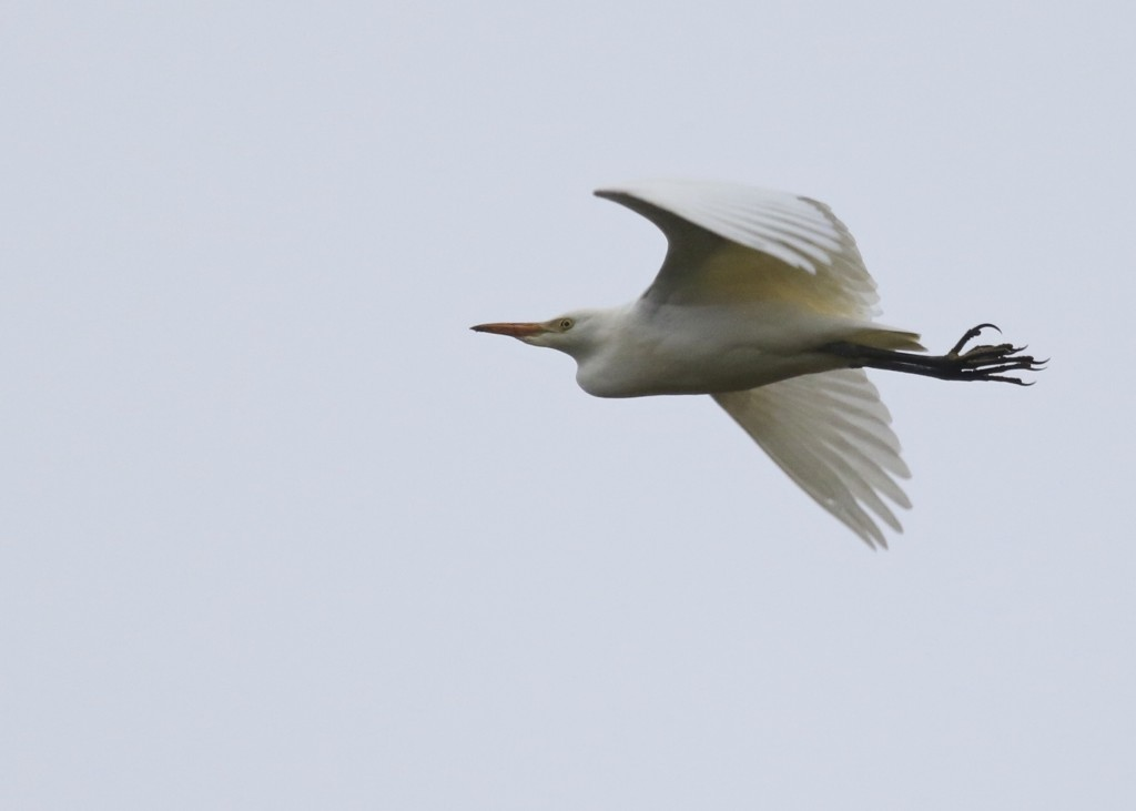 A slightly better shot of the Cattle Egret in Warwick, NY 11/1/14.