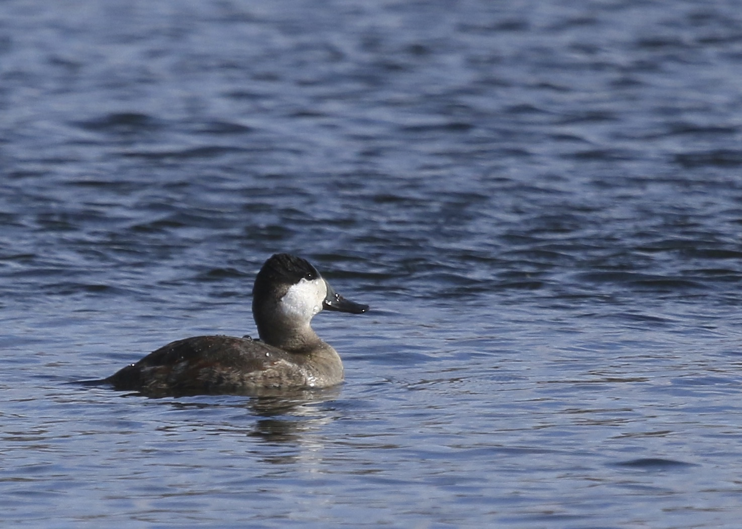 A shot of one more Ruddy Duck, Kiamesha Lake, 11/02/14.