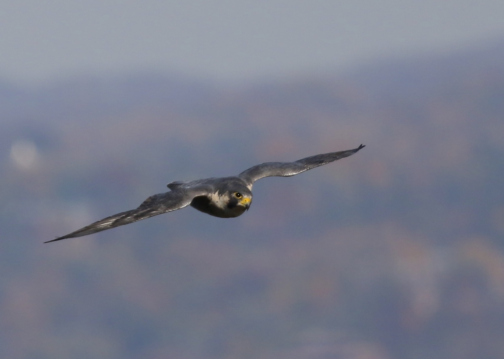 A local Peregrine cruises by, State Line Hawk Watch, 11/4/14.