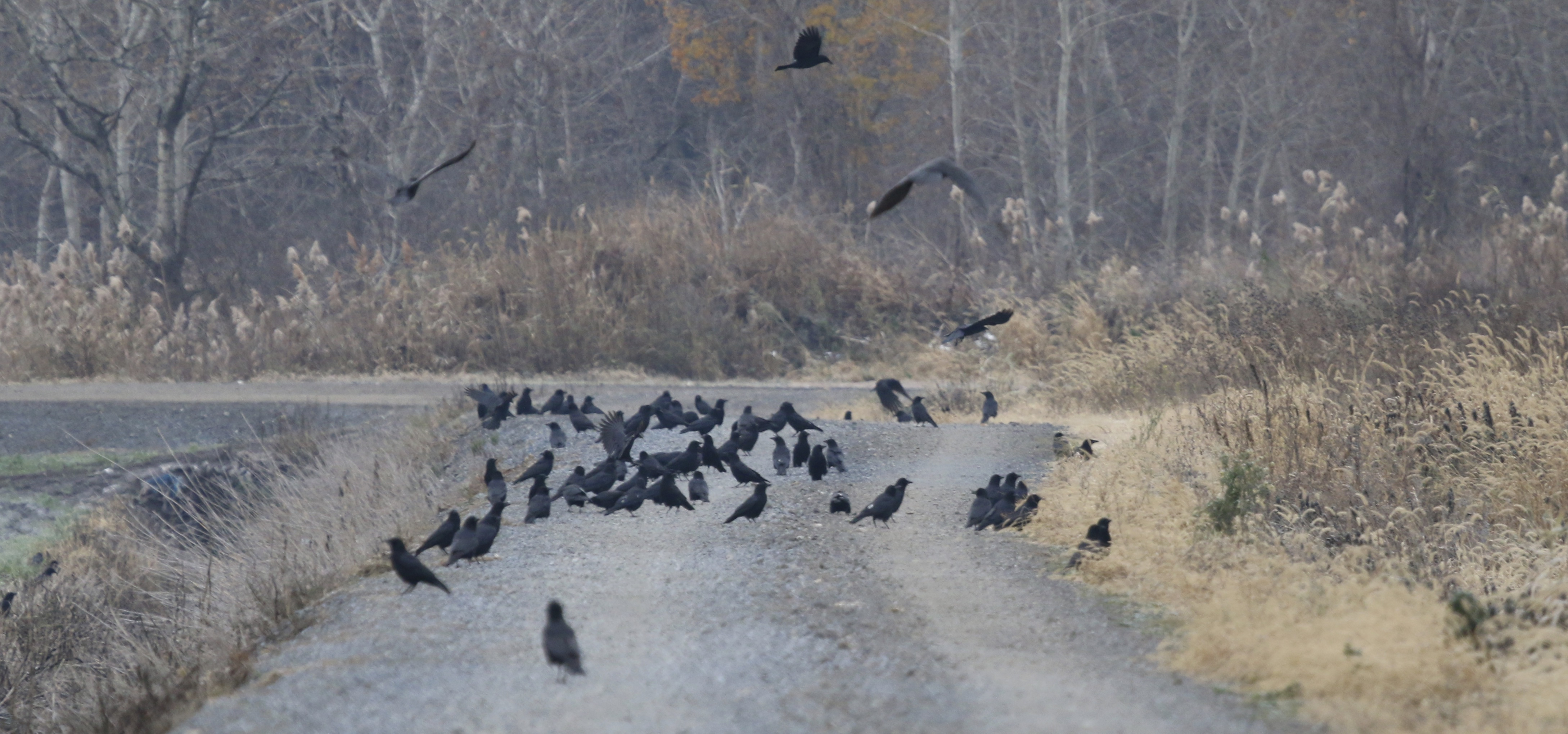 Crows were numerous and  seemed to be at every turn this morning. Black Dirt Region, 11/16/14.