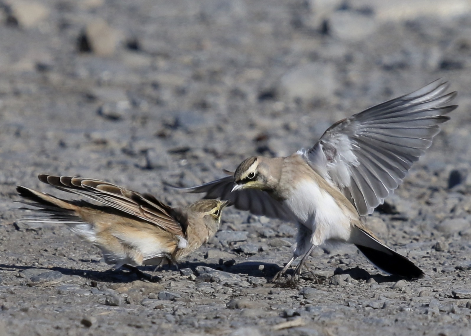 I just love these Horned Larks and I I was trying to get some more interesting photos of them today. I was trying to anticipate when the birds would interact like this. Black Dirt Region, 11/22/14.