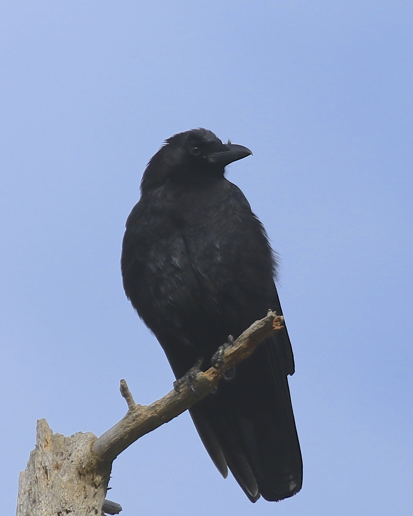 Far and away the most plentiful bird of the day, I sort of like this shot of an American Crow, a bird that I find difficult to photograph. Laurel Grove Cemetery in Port Jervis NY, 11/23/14.