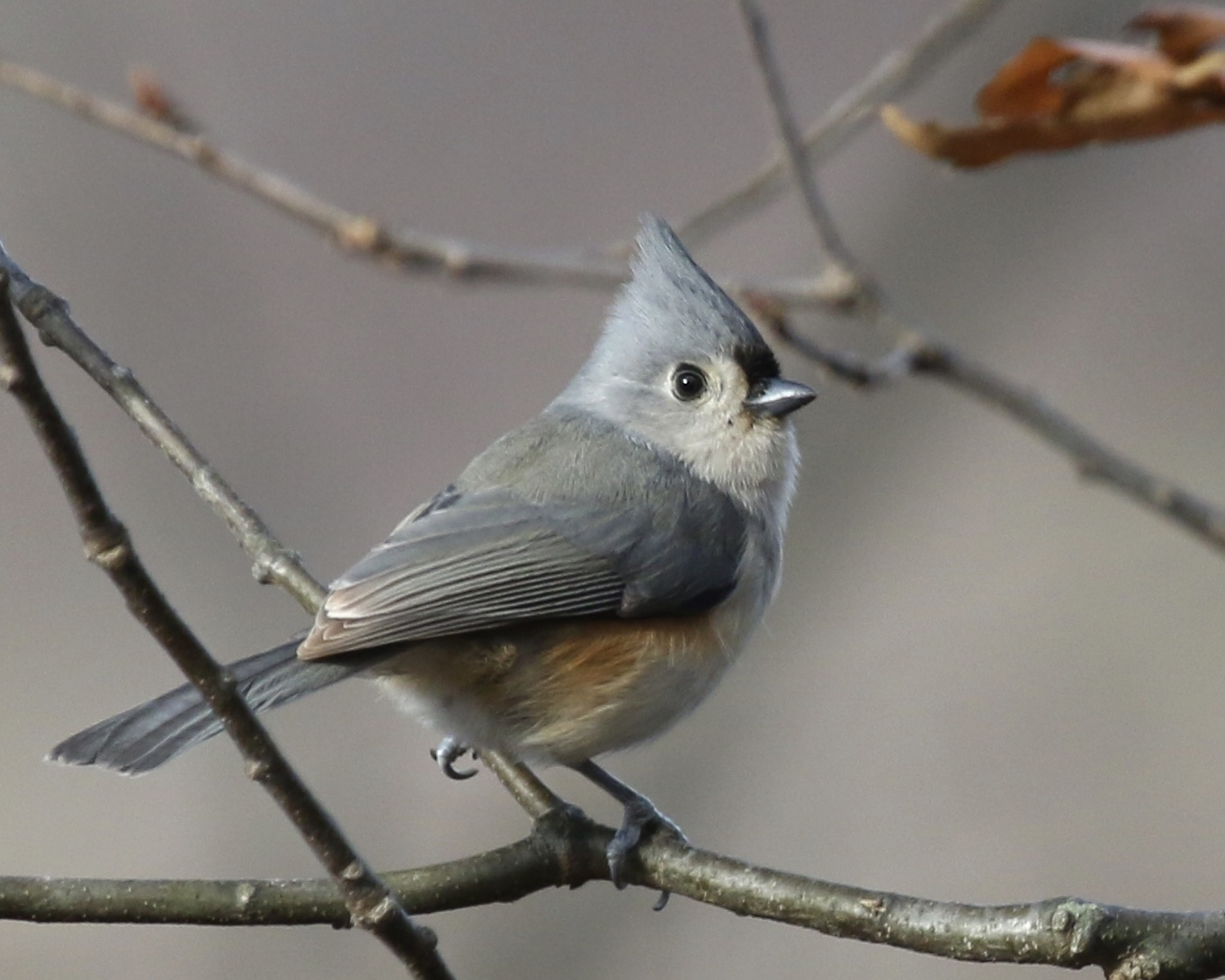 Tufted Titmouse at Laurel Grove Cemetery in Port Jervis, 11/23/14.