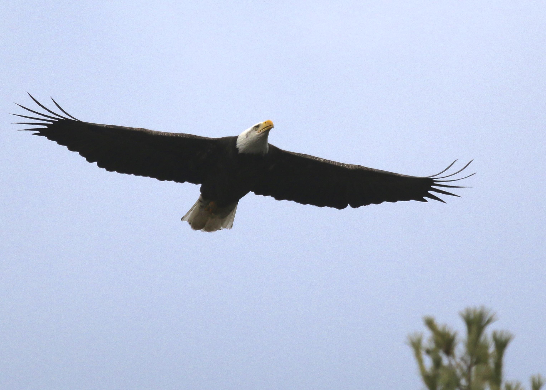 "An adult Bald Eagle flies over the ""Hawk's Nest"", Port Jervis NY, 11/23/14."
