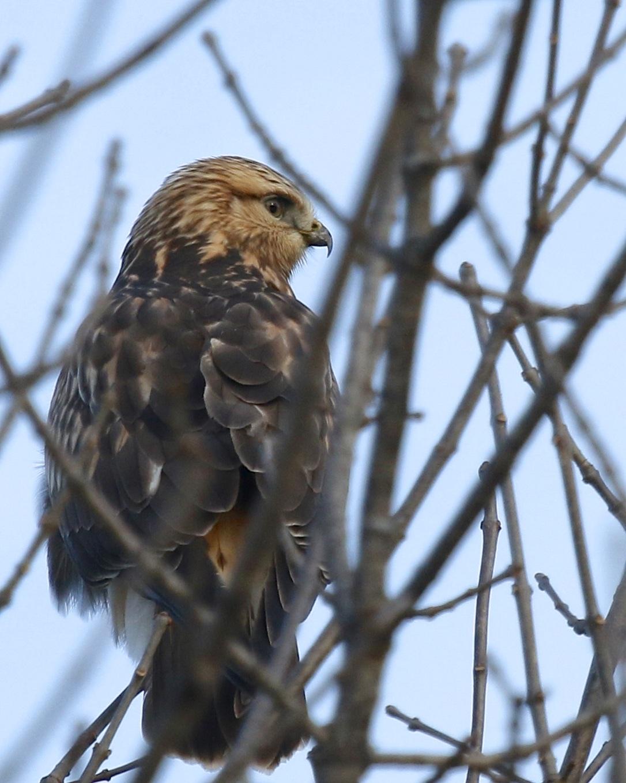 Rough-legged Hawk through the branches at Shawangunk Grasslands NWR, 12/7/14.