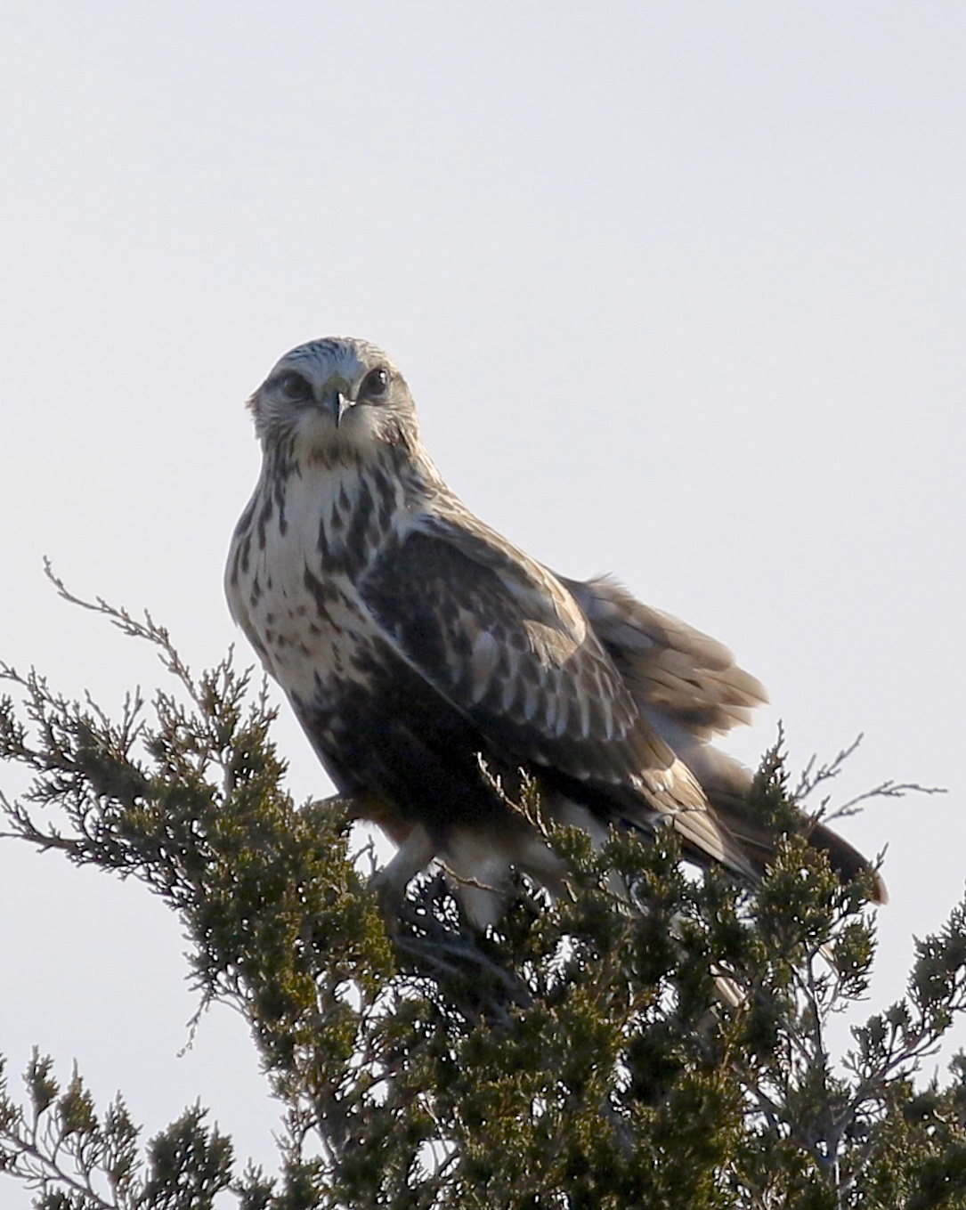 A backlit light morph Rough-legged Hawk at the Shawangunk Grasslands National Wildlife Refuge, 12/7/14.
