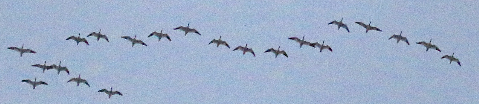 Um hmmm they ARE Snow Geese! Terrible pic of super birds. Black Dirt Region 12/12/14.