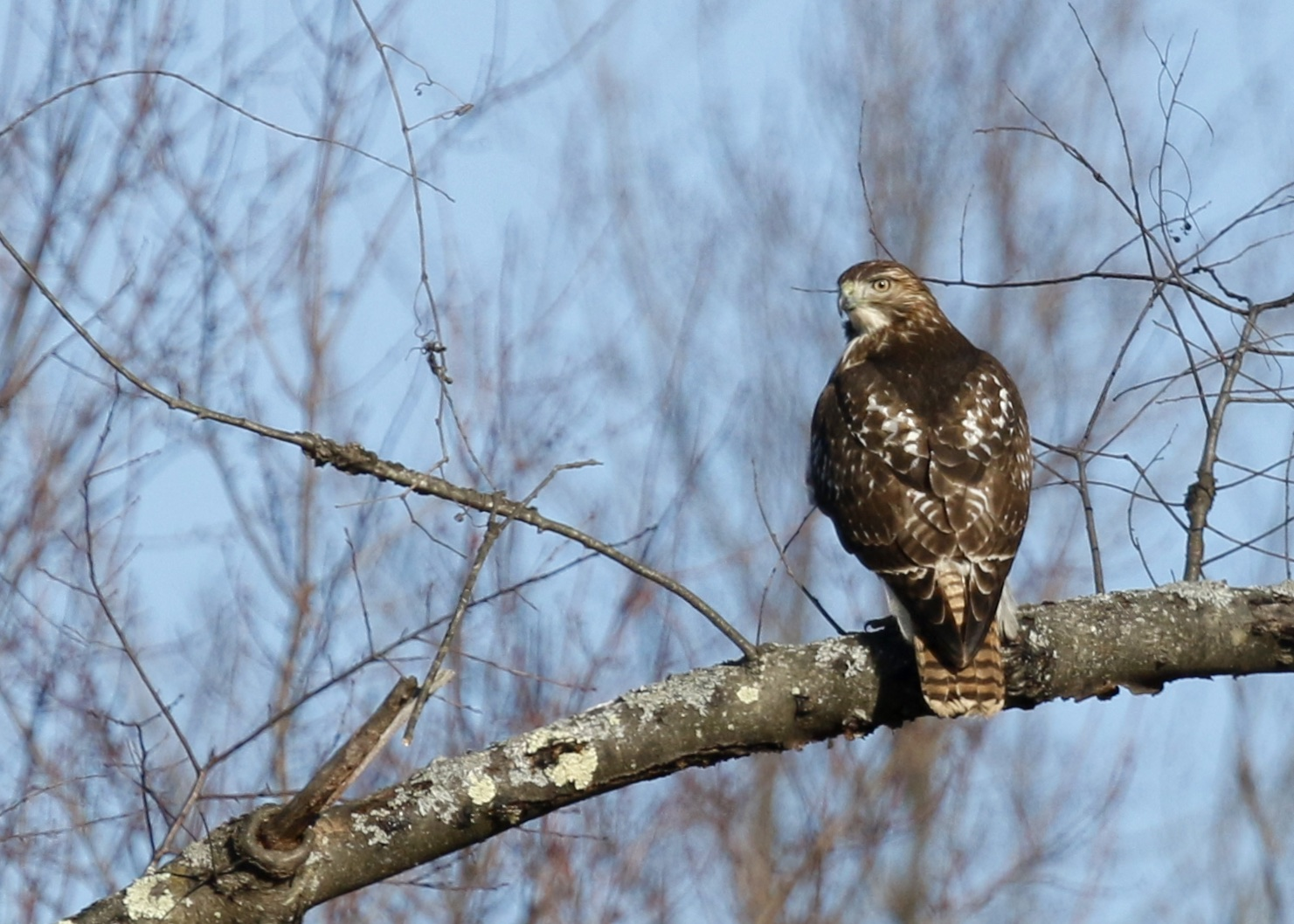 Red-tailed Hawk in Goshen NY, 12/13/14.