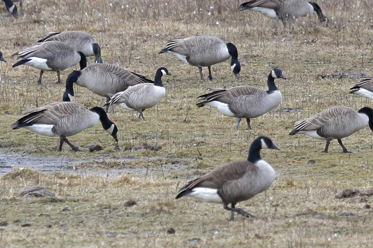 Cackling Goose with Canada Geese at the Camel Farm in Orange County NY, 12/28/14.