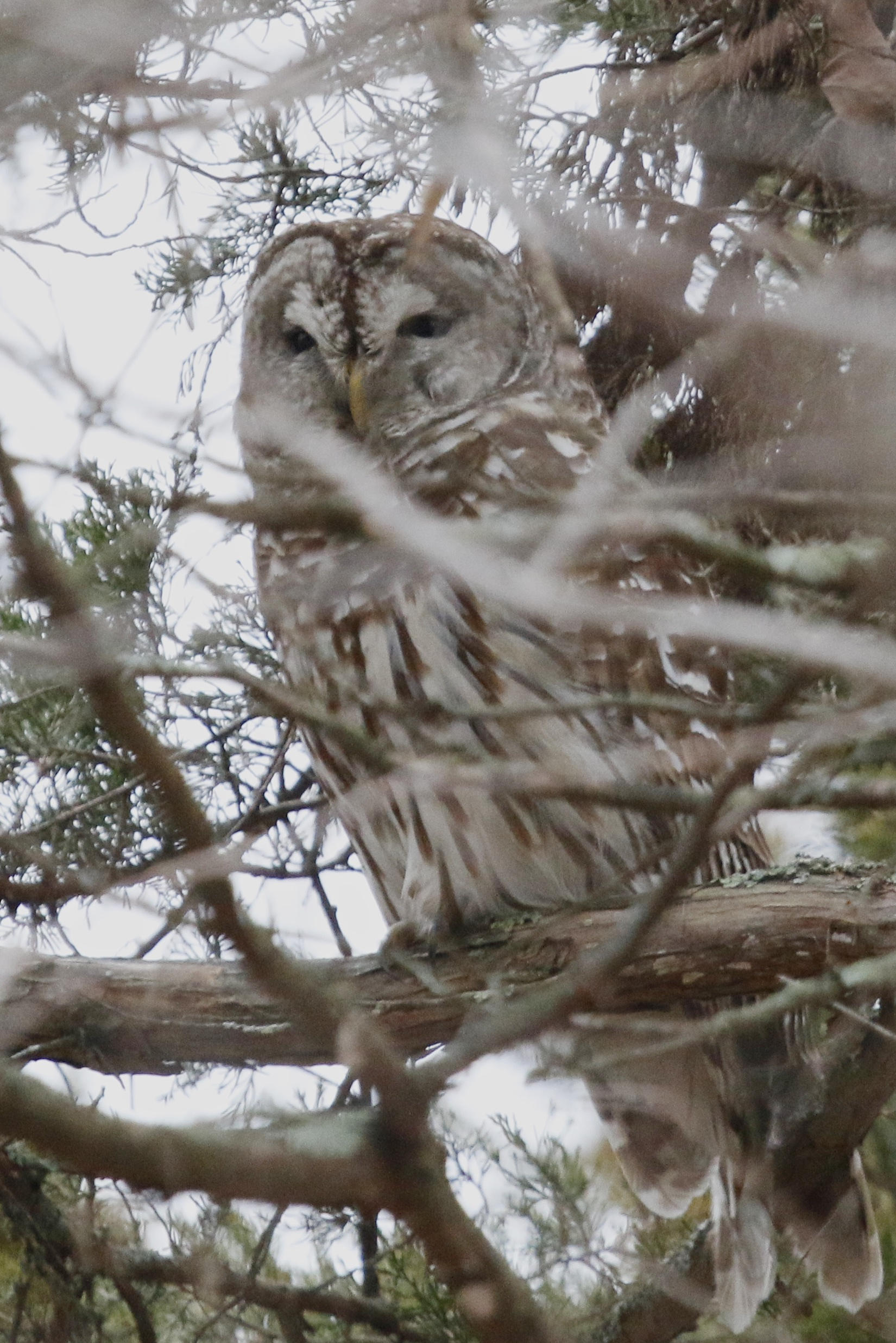 It's always awesome to see a Barred Owl. Appalachian Trail in Vernon NJ, 12/28/14.