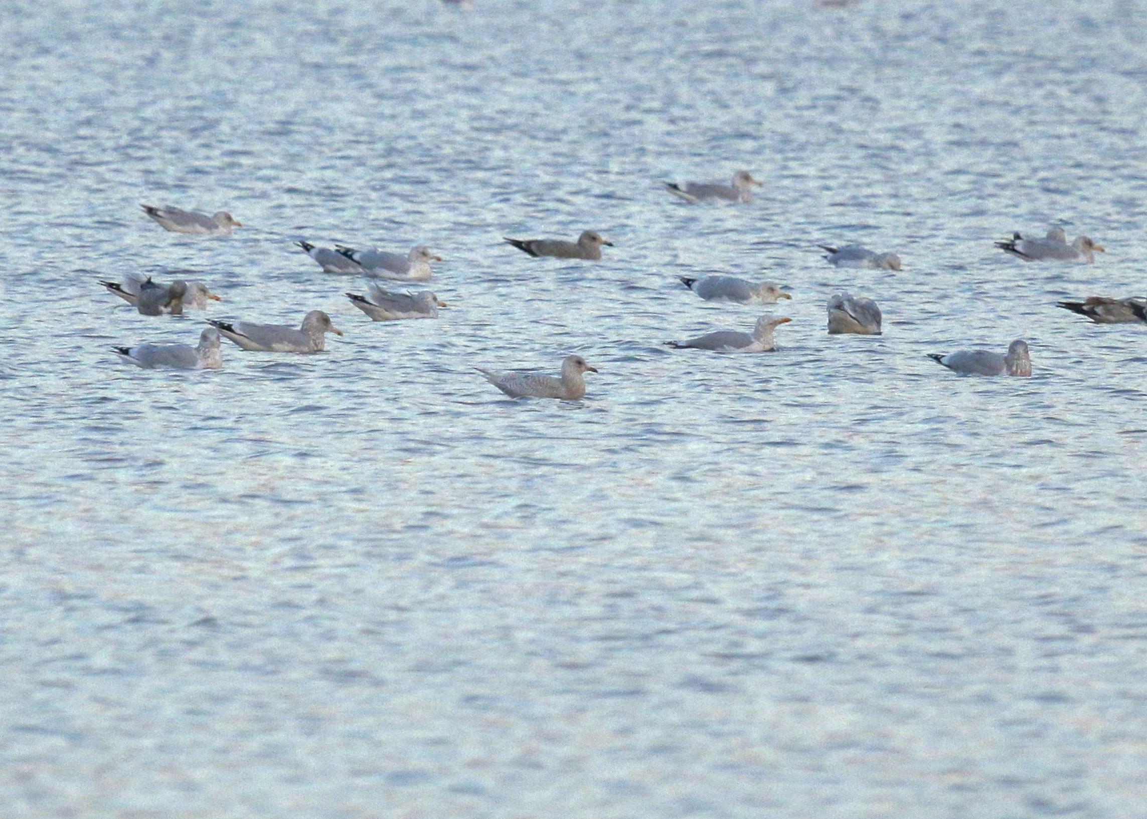 Iceland Gull with Herring Gulls, Newburgh Waterfront, 12/29/14.