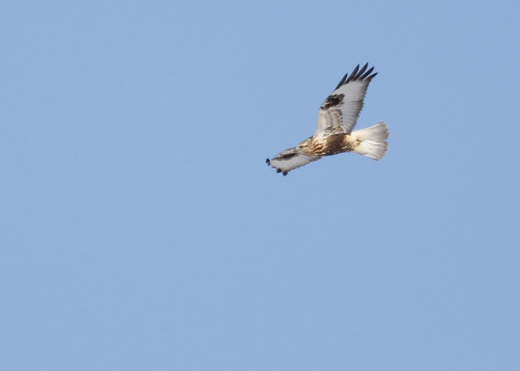 This Rough-legged Hawk stirred up 10 Short-eared Owls