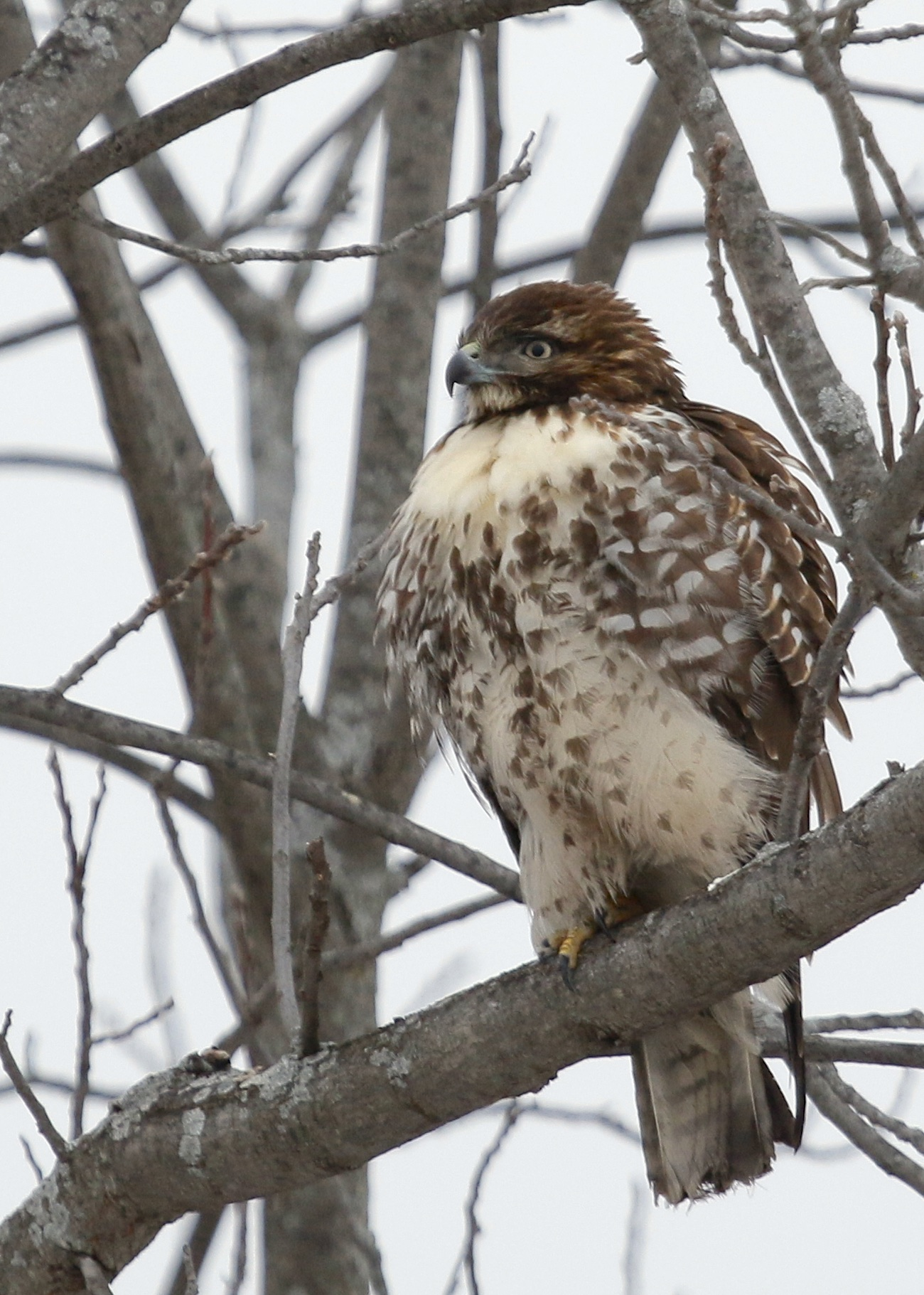 Red-tailed Hawk in New Hampton, NY 1/11/15.