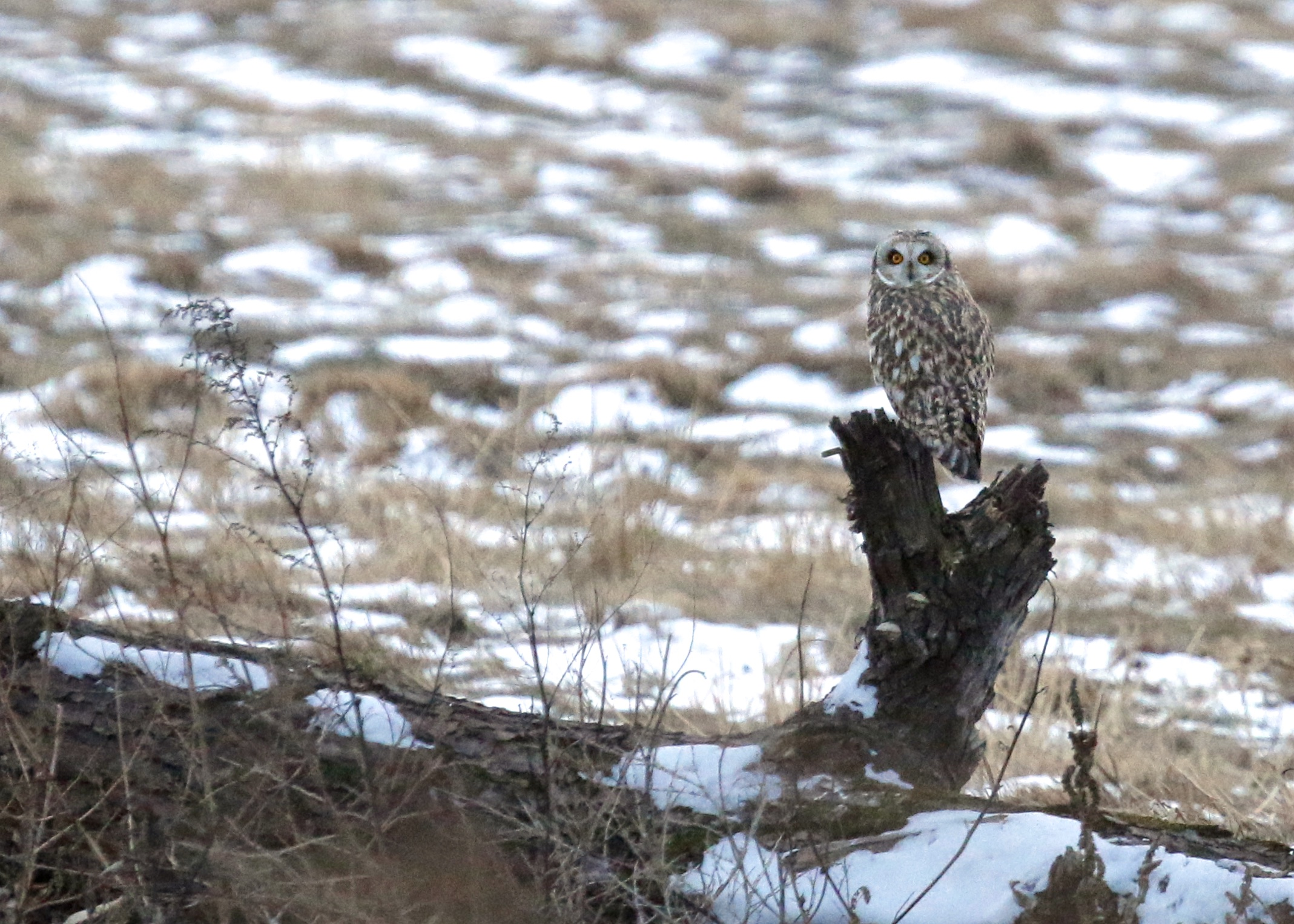 Short-eared Owl in Orange County, NY 1/11/15.