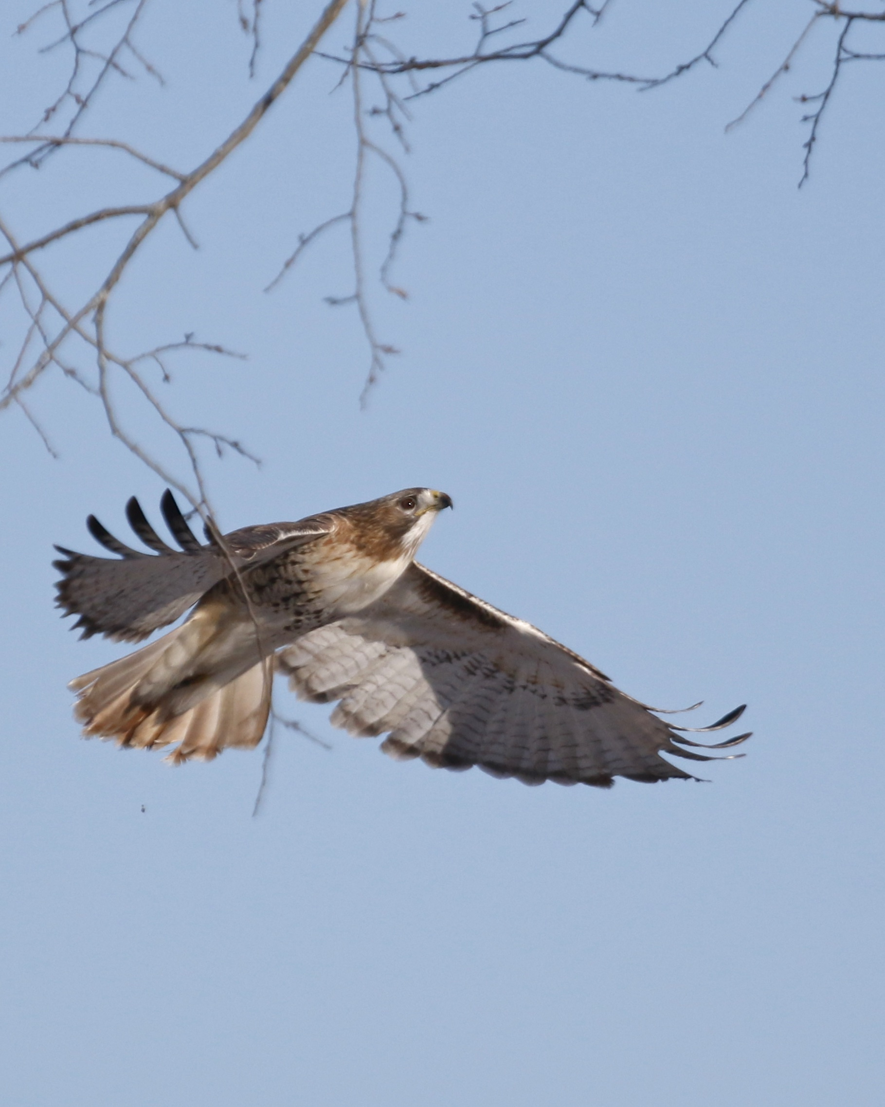 ~I was sitting in the blind thinking that it would be nice if a Red-tailed Hawk would fly towards me rather than away. Moments later this bird flew in. Red-tailed Hawk at Shawankgunk Grasslands NWR, 1/17/15.~