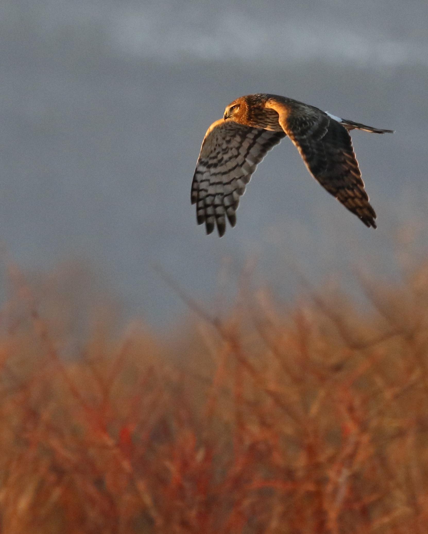 ~Northern Harrier at the Grasslands, 1/17/15.~