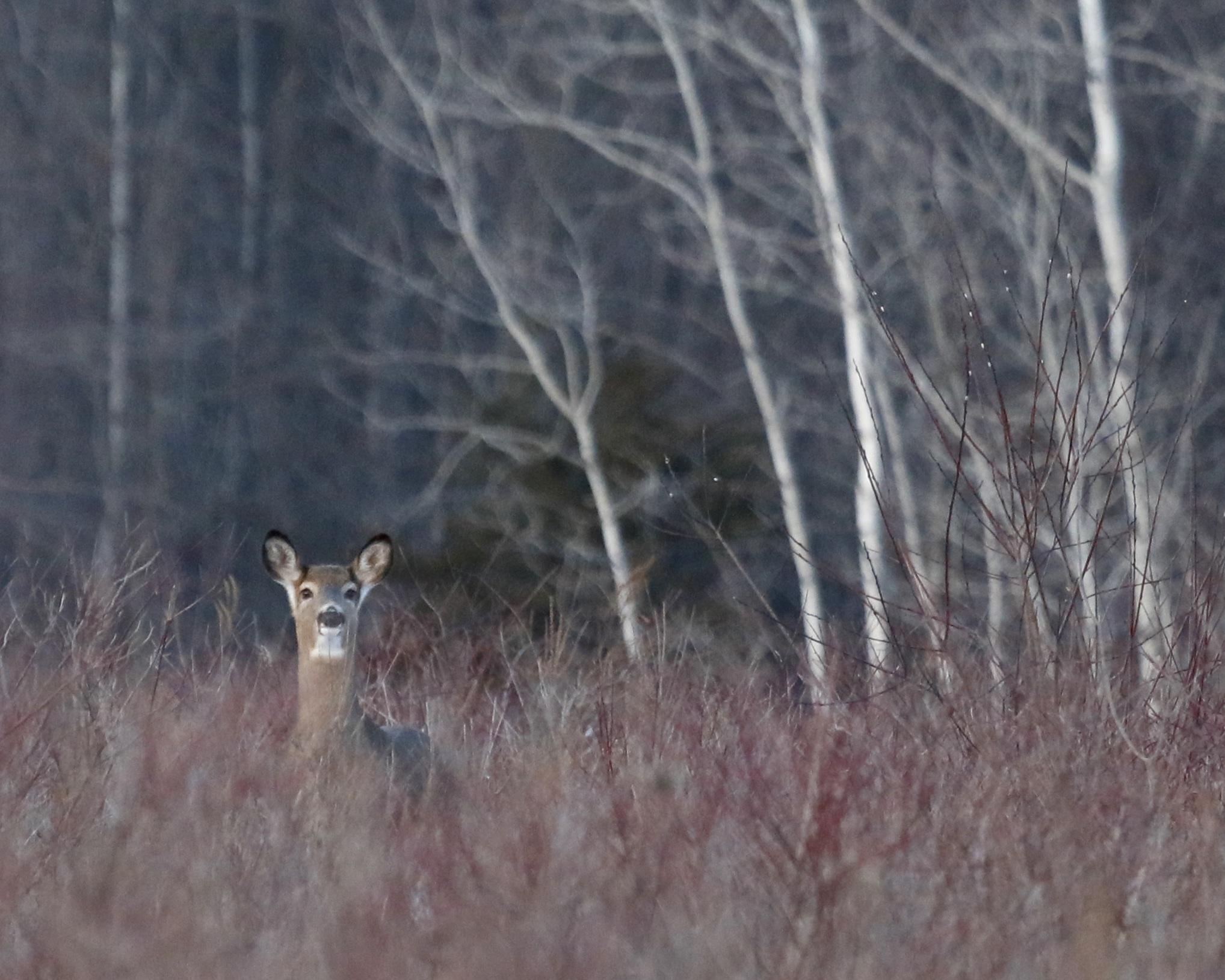 ~A deer checks things out at the Shawangunk Grasslands, 1/17/15.~