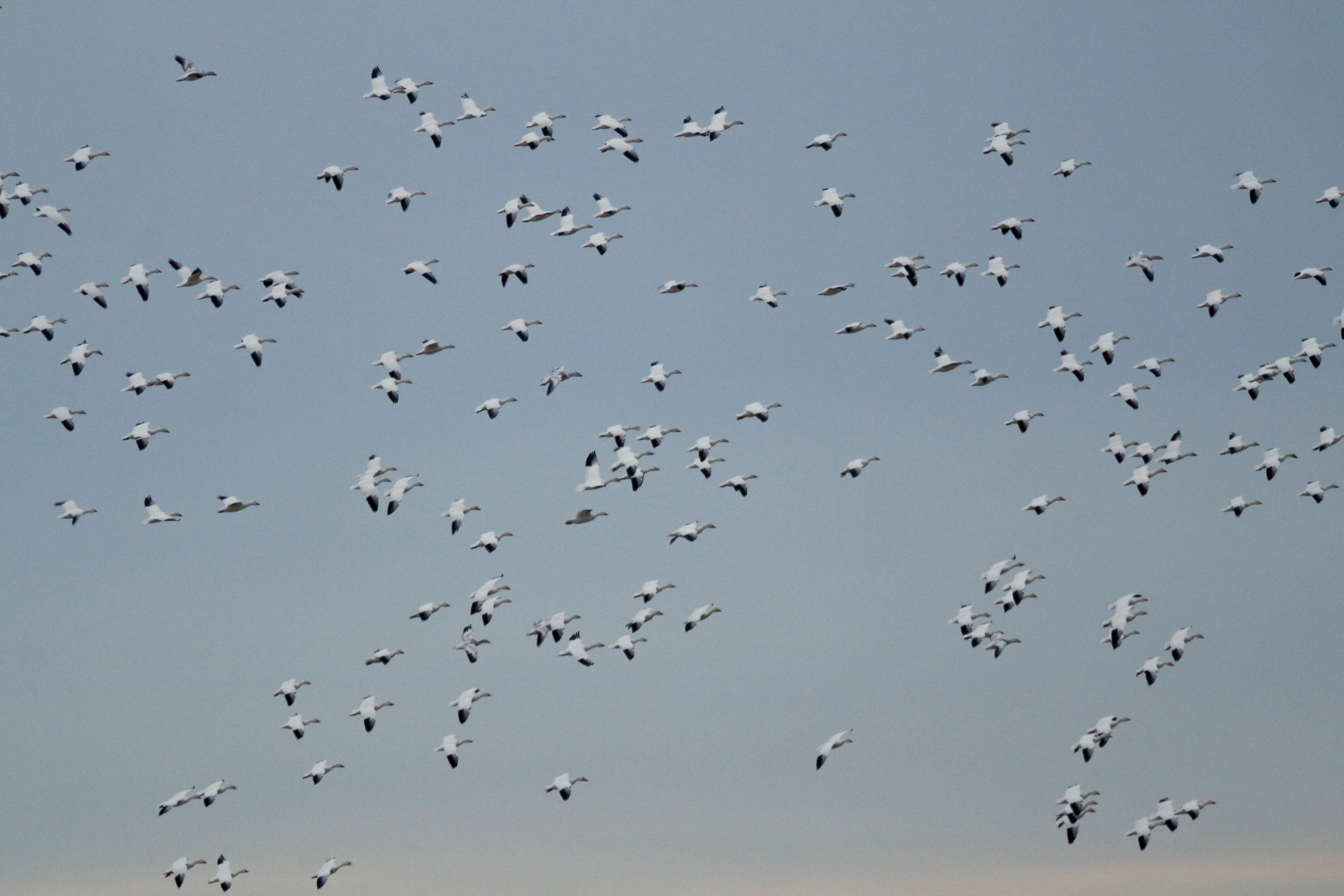 ~Snow Geese above the fields on Pierce Circle, 1/20/15.~