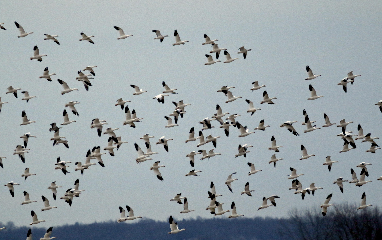~Snow Geese in New Hampton, NY 1/20/15.