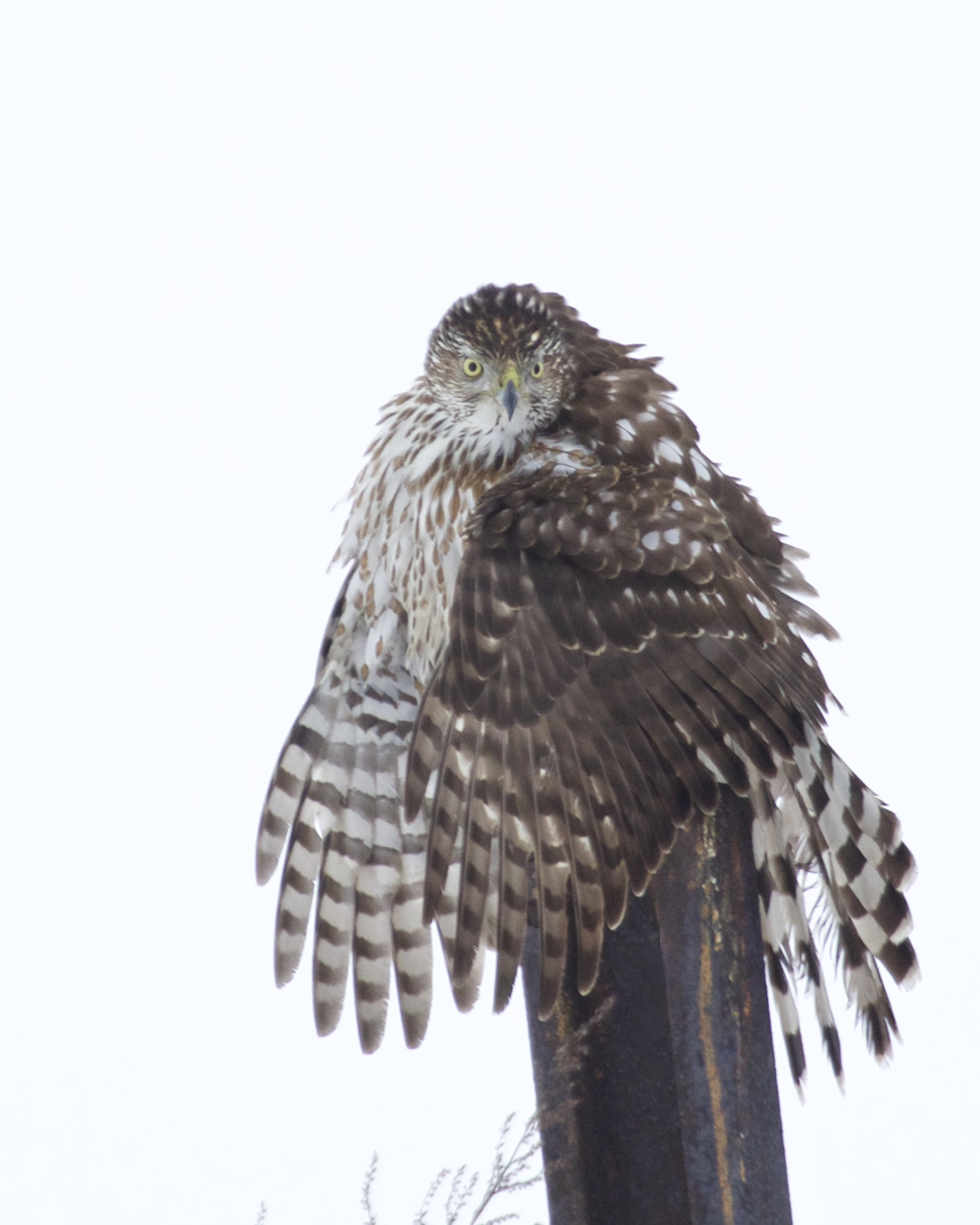~Cooper's Hawk at the Newburgh Waterfront, 1/24/15.~