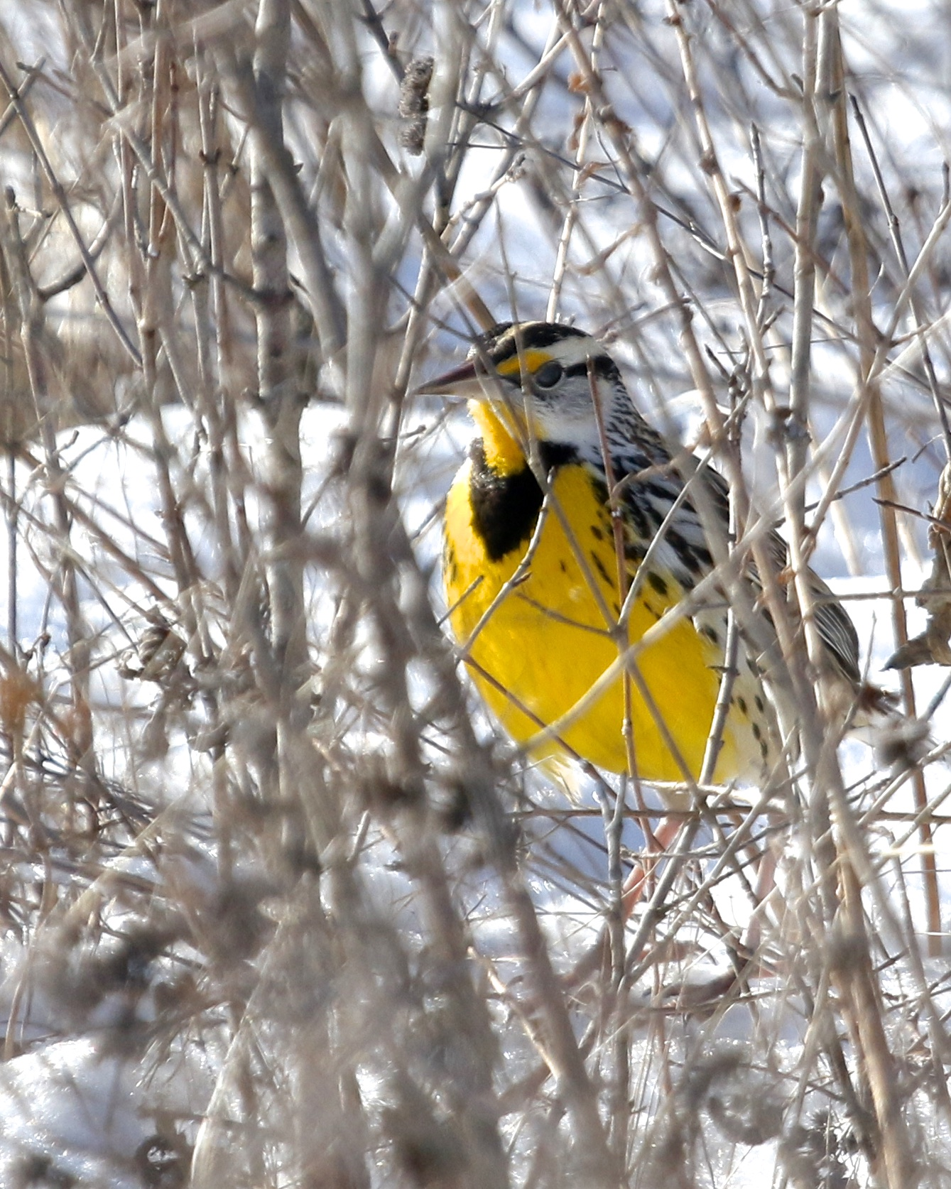 ~Eastern Meadowlark at the Grasslands, 1/25/15.~