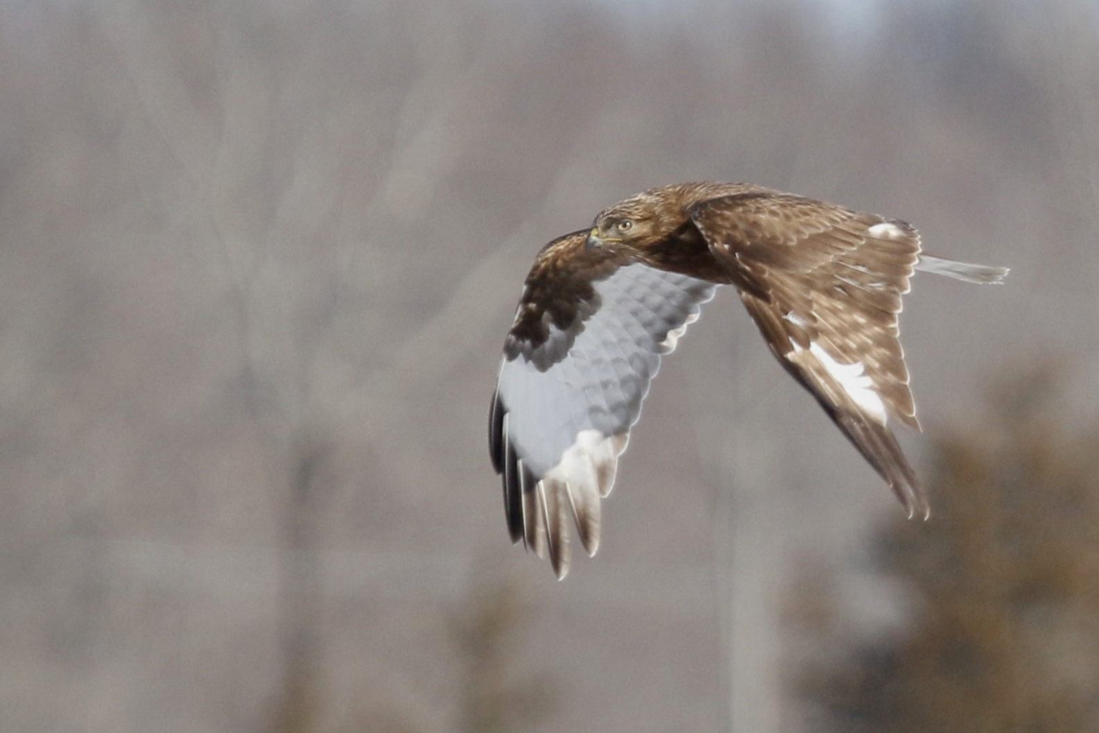 ~This dark morph Rough-legged Hawk took this low line across the grasslands several times. It was nice to get a RLHA flight shot with a decent background. Shawangunk Grasslands National Wildlife Refuge, 1/25/15.~