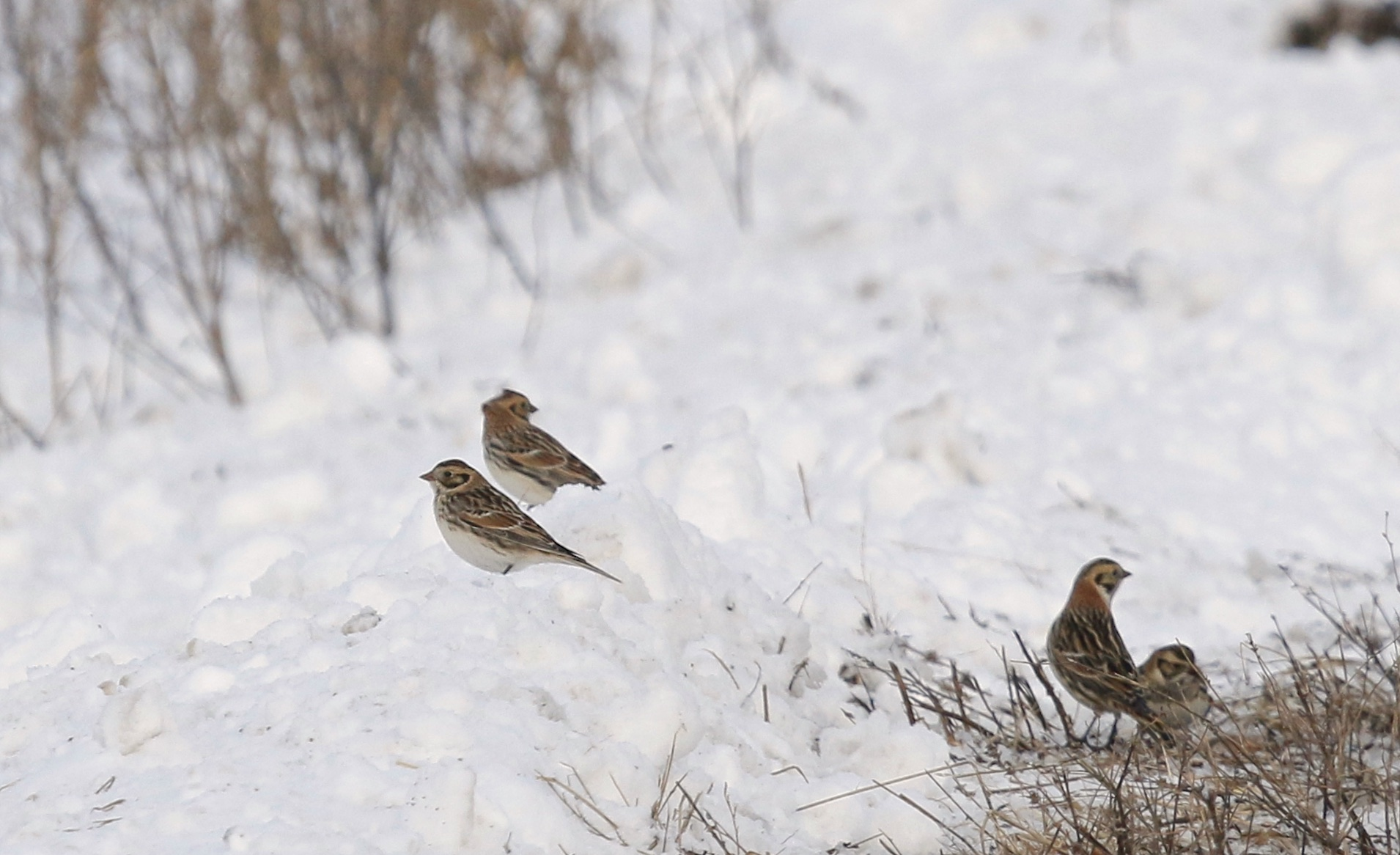 ~Four of the six Lapland Longspurs on Missionland Road today, 1/27/15.~