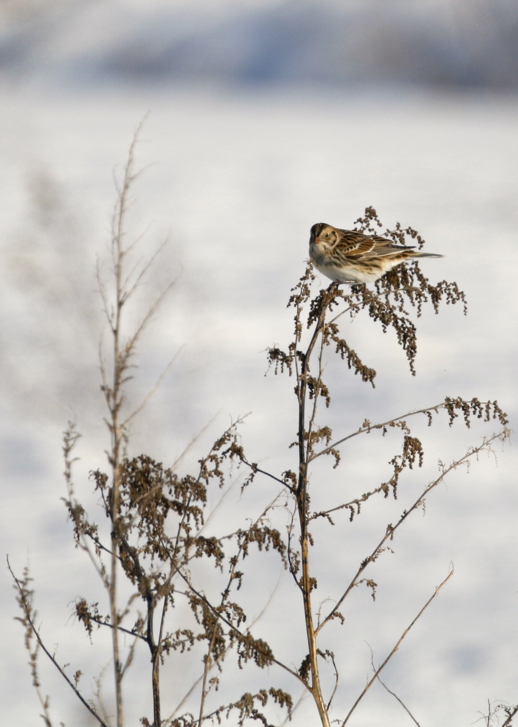 ...like this bird is doing here. Lapland Longspur on Missionland Road, 1/31/15.~