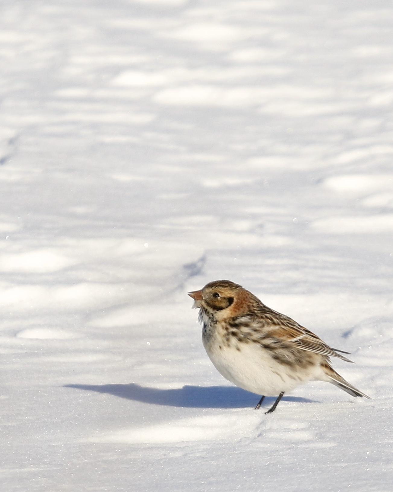~Lapland Longspur, 1/31/15.~