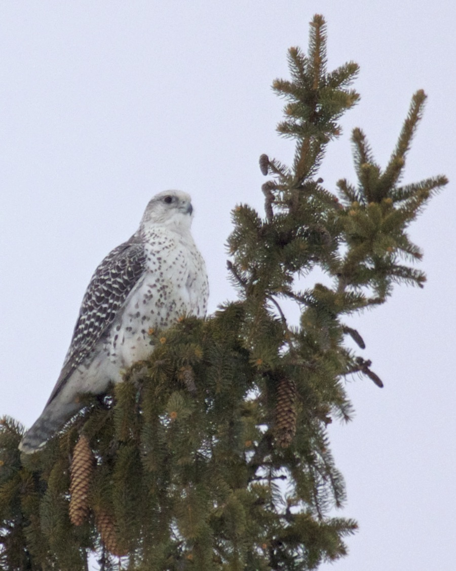 ~Perched Gyrfalcon in Ulster County, New York, 2/7/15.~