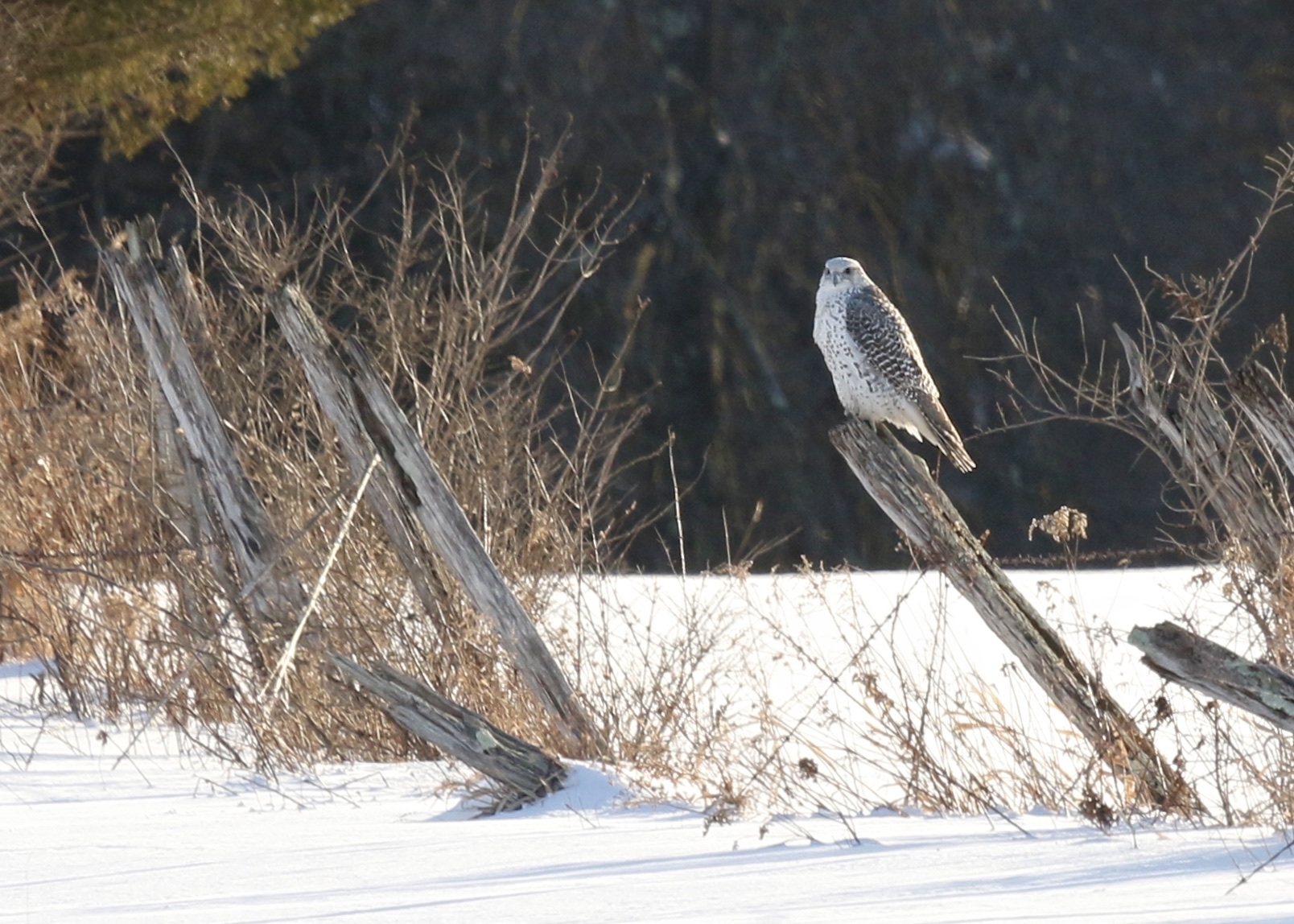 ~GYRFALCON!!!!! Ulster County 2/10/15.~