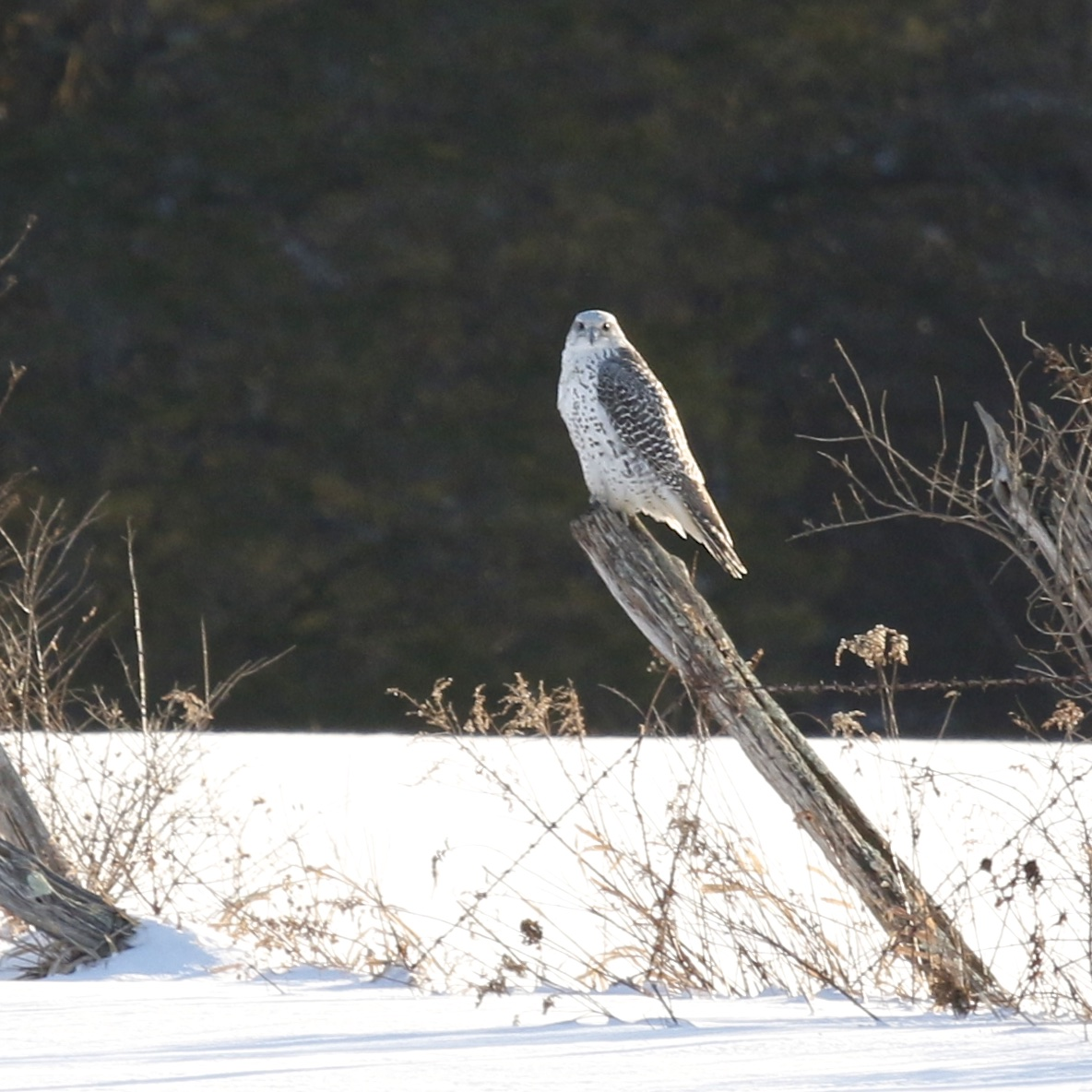 ~The Ulster County Gyrfalcon on a nice perch on Bruyn Turnpike in Wallkill, NY, 2/10/15.~