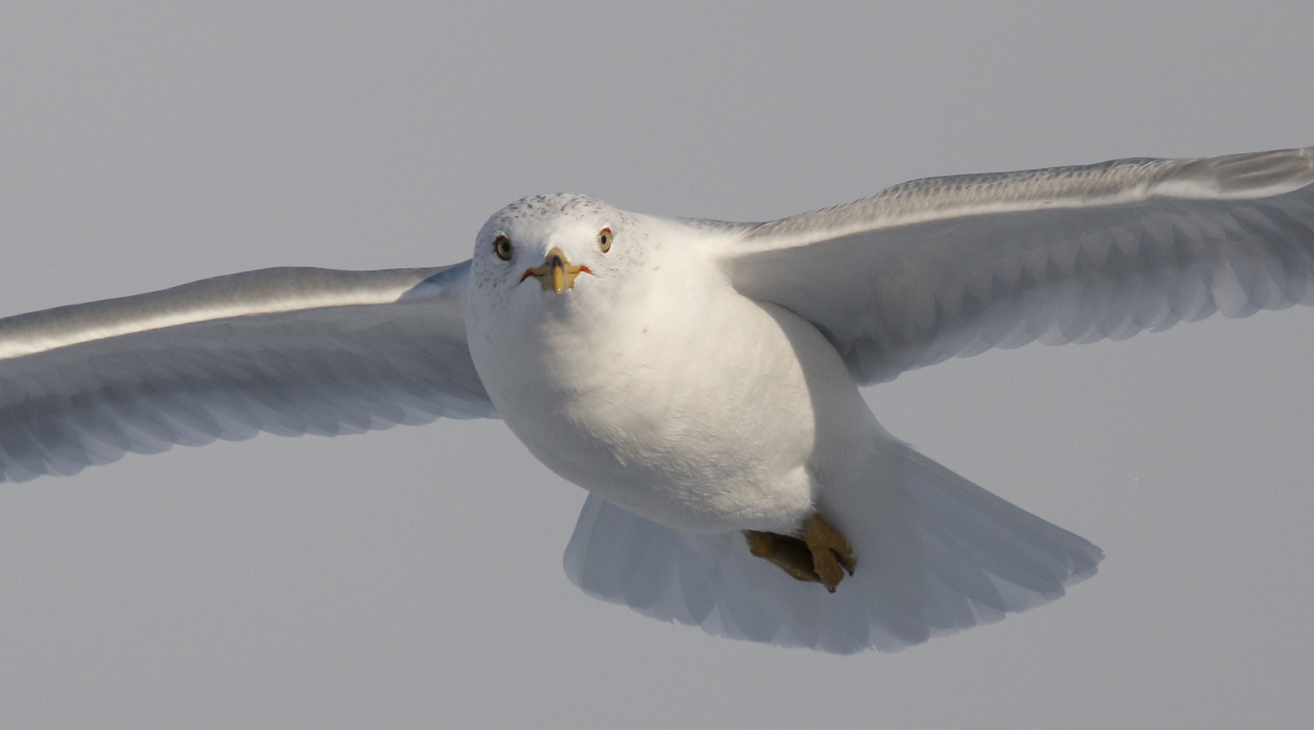 ~I enjoy photographing gulls, they are so accessible, allowing for shots like this Ring-billed Gull head on. Newburgh Waterfront, 2/12/15.~