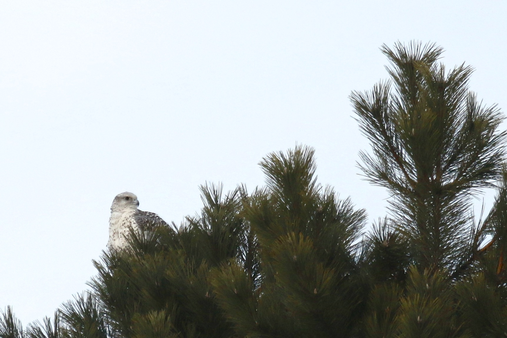 ~The incredible Gyrfalcon perched, Wallkill NY, 2/18/15.~