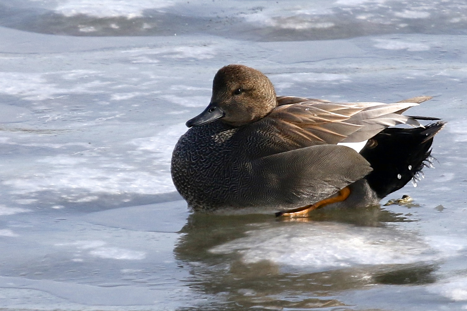 ~Gadwall at the Edith G Read Wildlife Sanctuary in Rye, NY 2/21/15.~