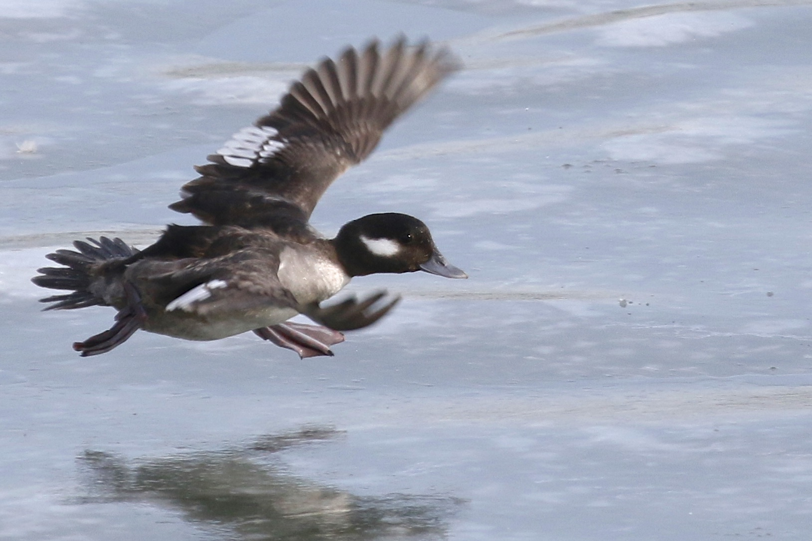 ~She is starting to get air born here as she runs across the ice to pick up speed for the take off. Female Bufflehead at Edith G. Read Wildlife Sanctuary, 2/21/15.~
