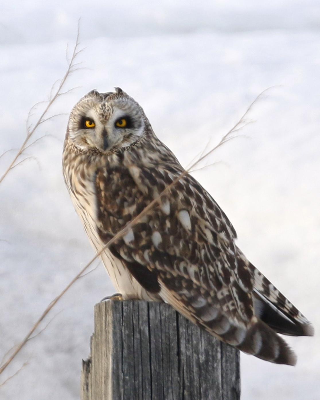 ~Black Dirt Short-eared Owl, 2/22/15.~