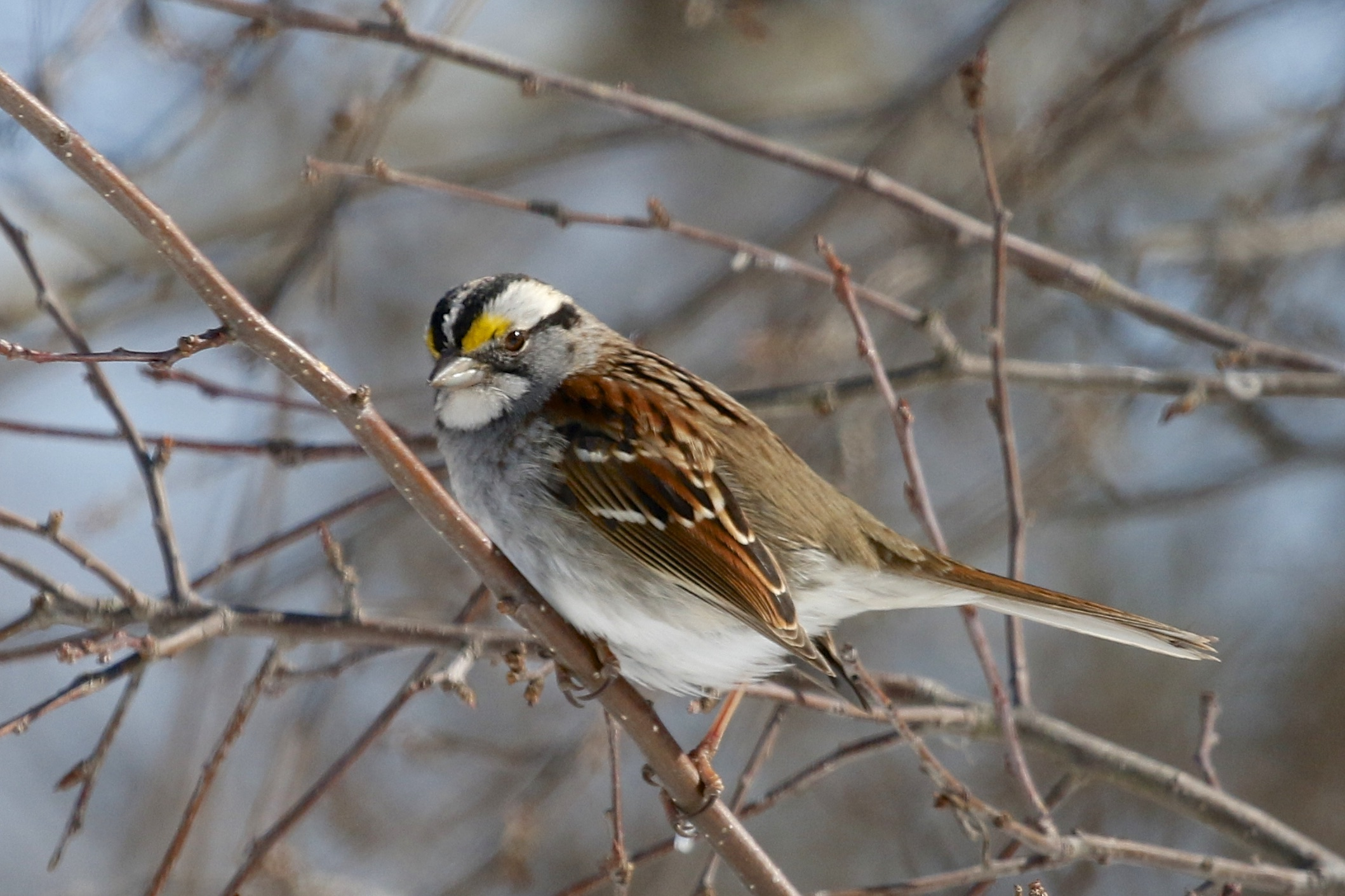 ~I haven't posted a sparrow photo in ages. This White-throated Sparrow was at the feeders next to the Edith G. Read Wildlife Sanctuary visitor center, 2/28/15.~