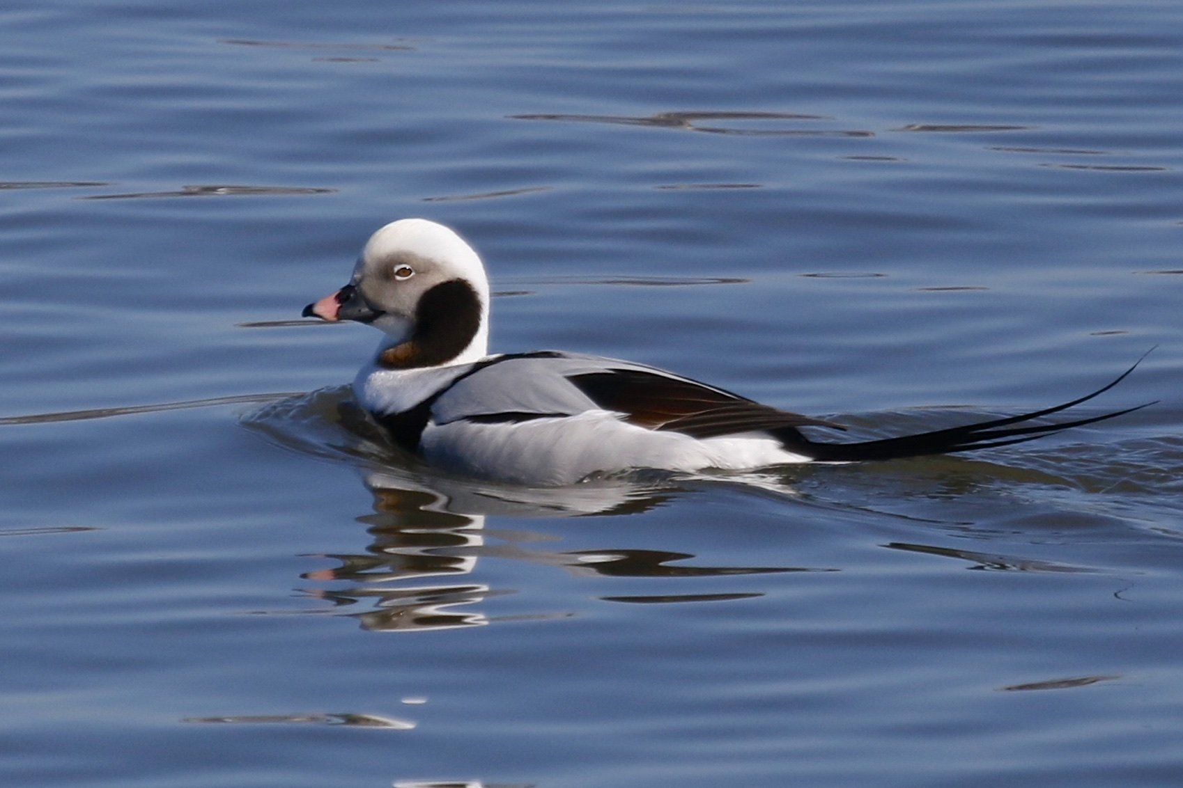 ~Another one of my favorites! Long-tailed Duck at Piermont Pier Rockland County NY, 2/28/15.~